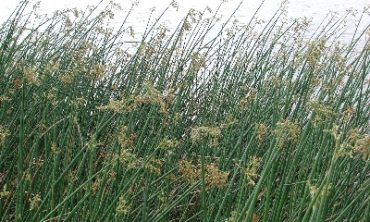 close up bulrush