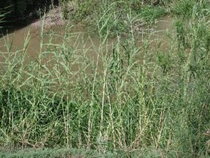 Giant Reed lining bank of pond