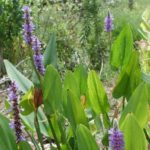 pickerelweed close up
