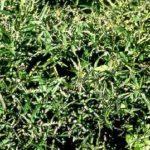 top view of smartweed