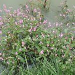 pink smartweed