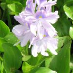 close up water hyacinth