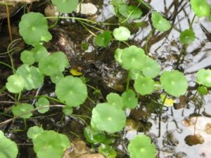water pennywort top view