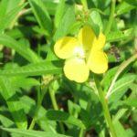 water primrose flower