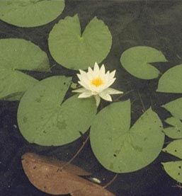 white water lily top view