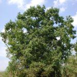full Chinese Tallow tree