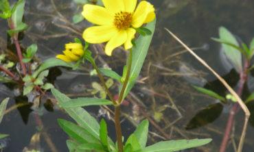 bur marigole full flower