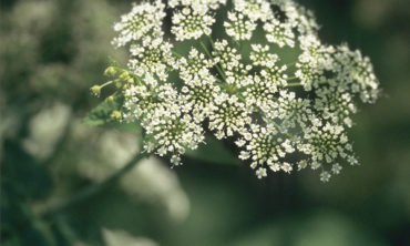 water hemlock flower