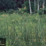 jointed flat sedge