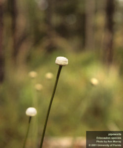 pipewort flower