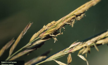 cordgrass close up