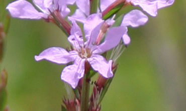 winged loosestrife flower