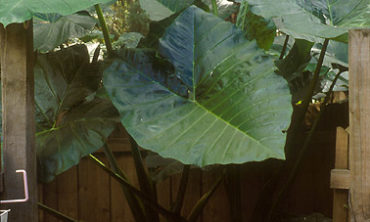 top of elephant ear leaf