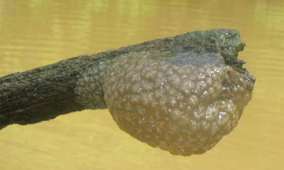 bryozoan attached to a log