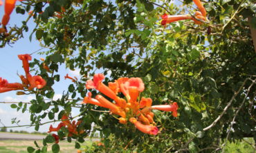 Trumpet Vine with flowers